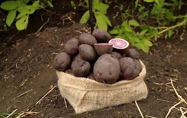 Сорт картофеля Взрывной