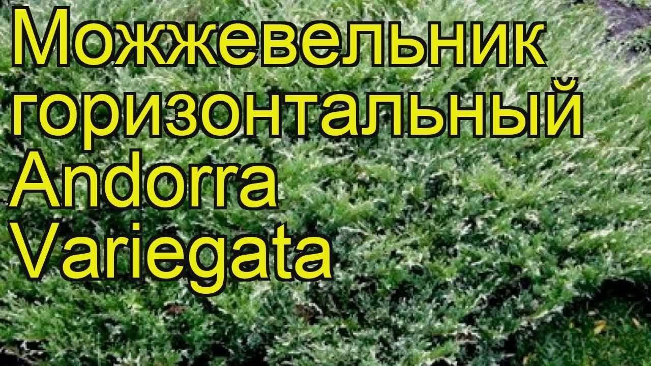 Вечнозеленый можжевельник андорра компакт
