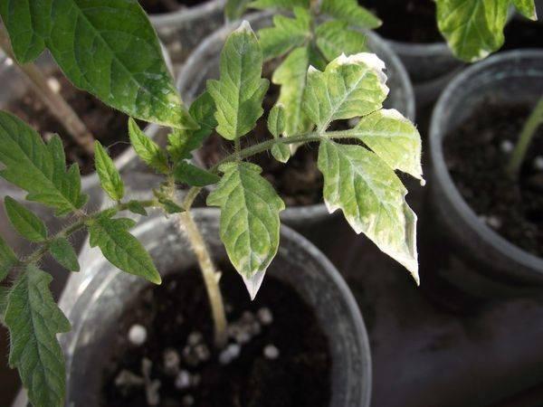 Причины пожелтения рассады помидоров