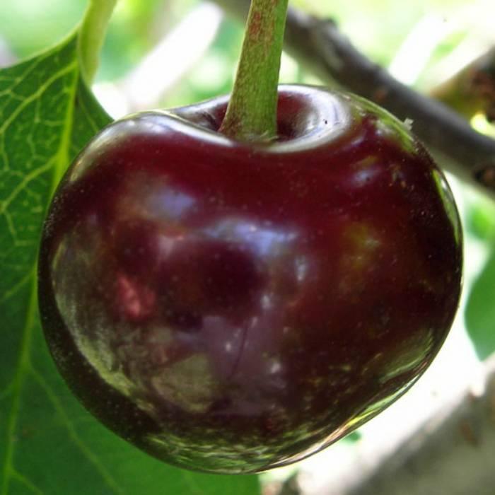 Любимая малышка: красавица-вишня в вашем саду