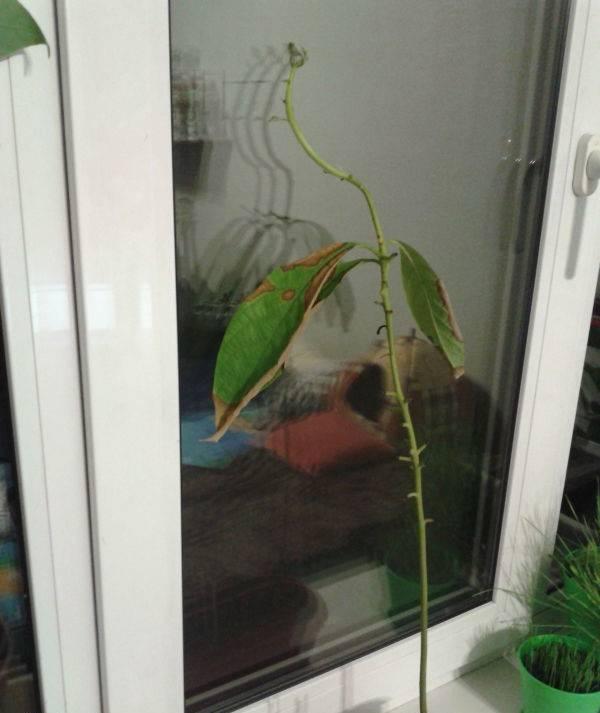 Почему у авокадо сохнут листья по краям. заболевания авокадо: почему у растения сохнут кончики листьев, почему опадают? как температуры воздействуют на растение