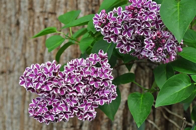 Persian lilac персидская сирень pokrovka trading house аромат — аромат для женщин