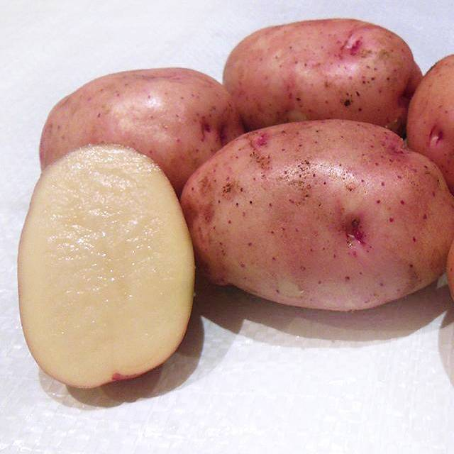 Популярный, вкусный, неприхотливый — картофель «жуковский ранний»