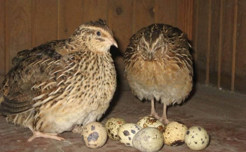 Все об инкубации перепелиных яиц