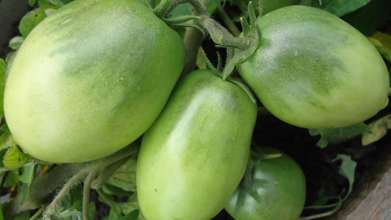Томат буян отзывы фото урожайность