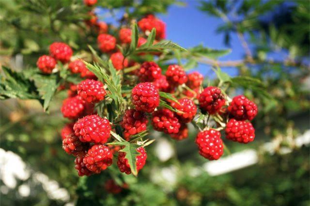 Когда созревают садовые и лесные фрукты и ягоды