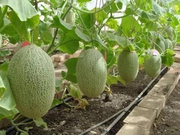 Чем подкормить арбузы и дыни, чтобы росли быстрее?