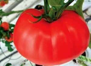 Описание сорта томат «бабушкин секрет»