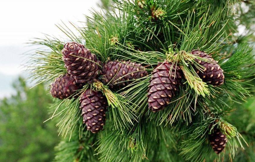 Кедр гималайский (cedrus deodara) — описание, выращивание, фото