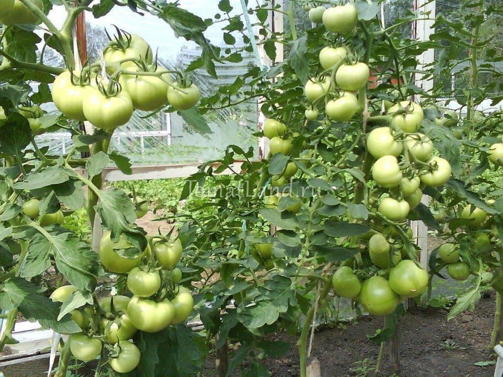 Томат ирина — ранний гибрид, созревающий через 90 дней и дающий до 5 кг плодов с куста