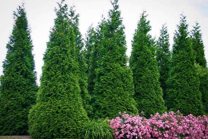 О чем следует знать при выращивании самшита?