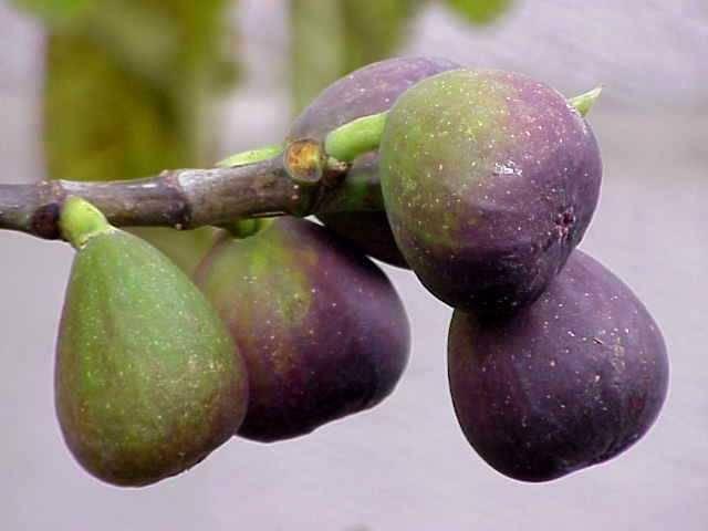 Сорта и виды инжира, которые вы запросто вырастите дома