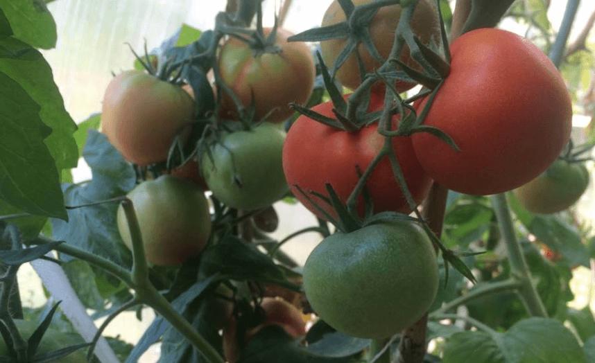 Все о томате дикая роза: от вкуса до схемы посадки розового крупноплодного сорта