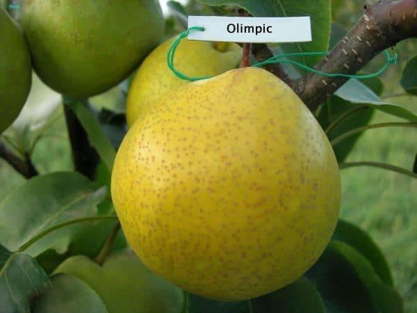 Китайская груша: полезные свойства и возможный вред | польза и вред