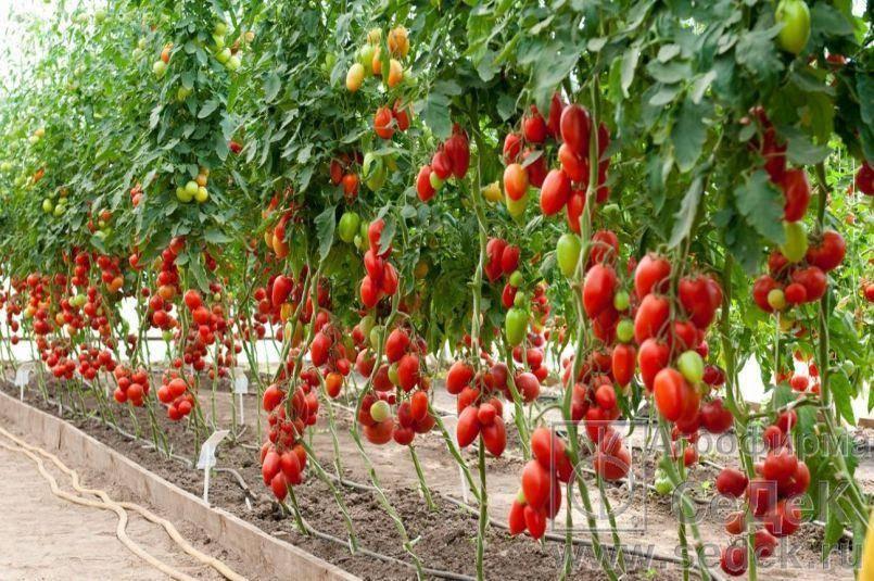 За что томат «котя» признан лучшим гибридом года?