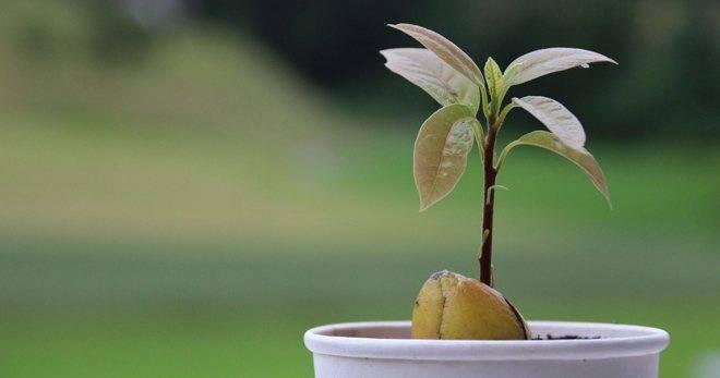 Почему у авокадо сохнут кончики листьев? какие еще бывают заболевания?
