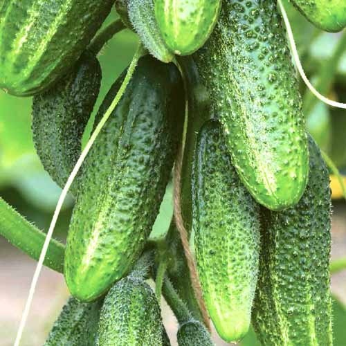 Огурцы сибирская гирлянда f1: как выращивать в теплице, описание сорта, фото + отзывы