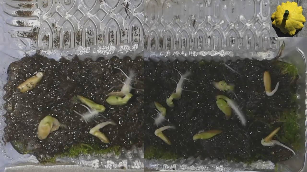 Как прорастить семена огурцов - 115 фото как правильно и быстро прорастить основные сорта