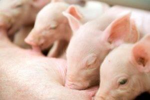 Как проходят роды домашней свиньи