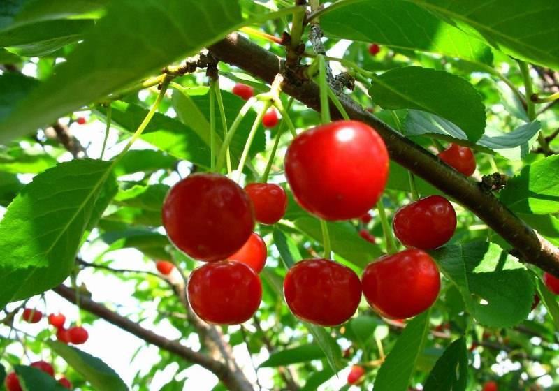 Выращивание вишни болотовская