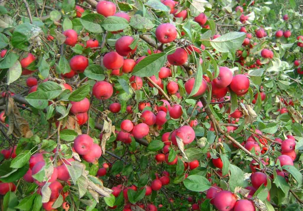 Скороплодная и морозоустойчивая яблоня «павлуша»