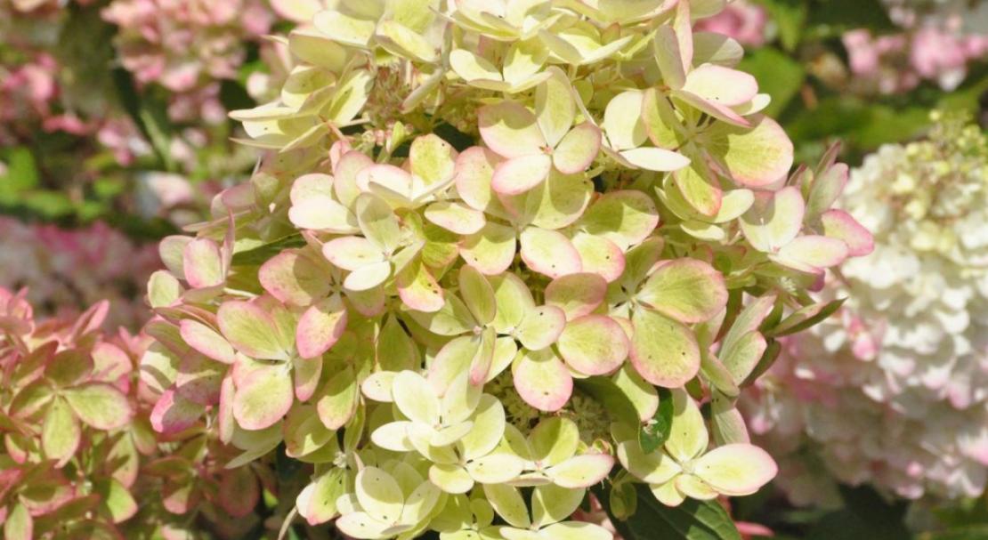 Гортензия метельчатая: посадка и уход за декоративным кустарником с цветками-«хамелеонами»