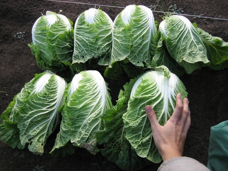 Выращивание пекинской капусты, лучшие сорта и гибриды