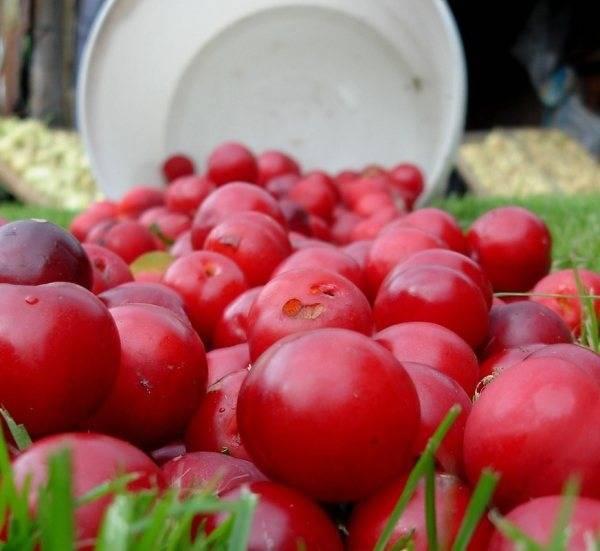 Выращивание и уход за сливой в сибири