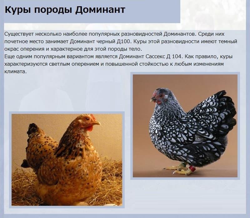 Юрловская голосистая – главные характеристики и особенности поющей породы кур