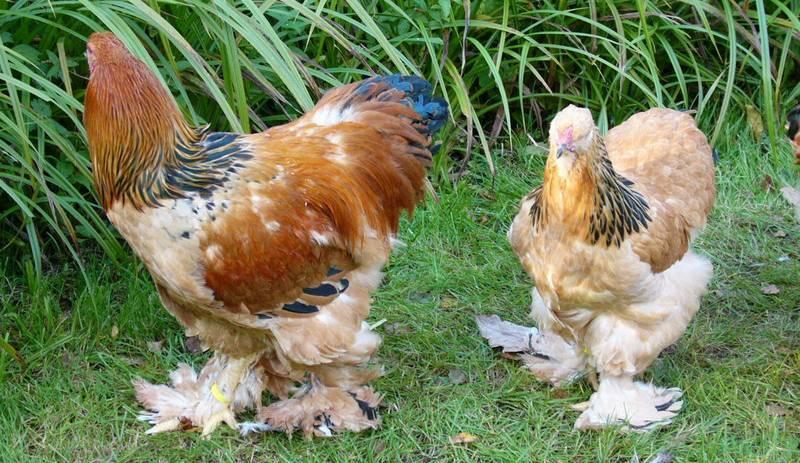 Чем отличается брама от кохинхина: описание пород кур, фото, особенности содержания, сходства с другими видами домашних птиц, таких как орпингтоны и виандоты