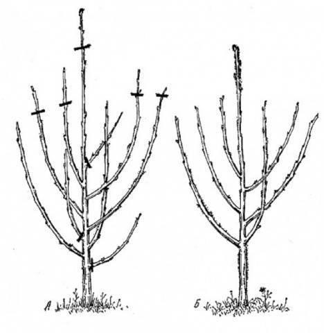 Вишня свердловчанка — описание сорта, фото, отзывы садоводов