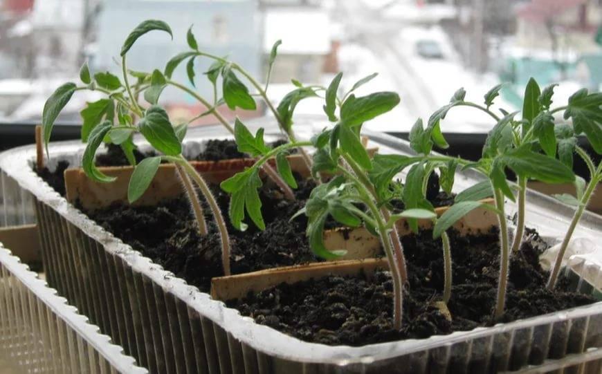 Чем подкормить рассаду помидор после пикировки — особенности работы и 8 народных средств