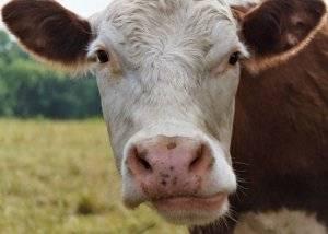 Бельмо на глазу у коровы: симптомы и лечение