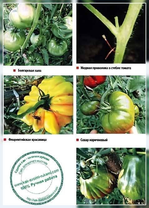 Медная проволока от фитофторы на помидорах: способы борьбы, особенности заболевания и методы восстановления урожая (110 фото и видео)