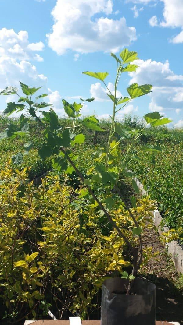 Как посадить жимолость осенью, чтобы она успешно укоренилась?