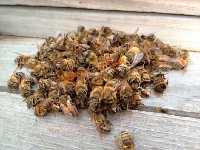 Пчелиный подмор на водке – приготовление и применение настойки