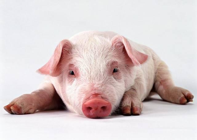Африканская чума свиней опасна для человека: симптомы