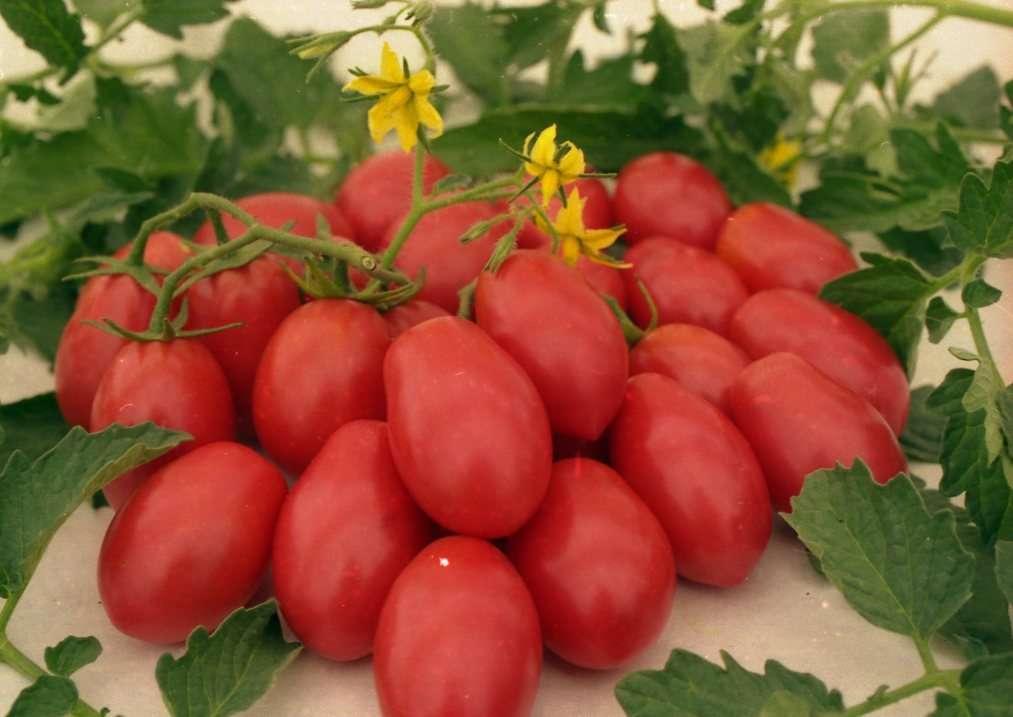 Сорт томата «чио чио сан»: описание, характеристика, посев на рассаду, подкормка, урожайность, фото, видео и самые распространенные болезни томатов