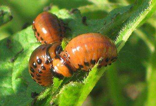 29 народных средств от колорадского жука на картошке