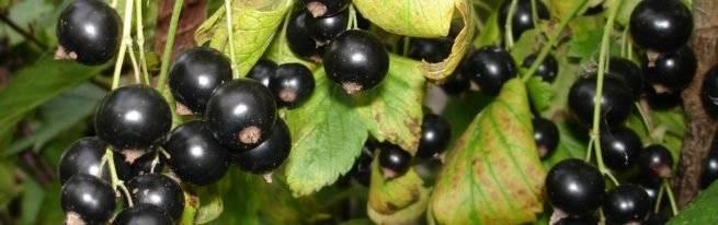 Черная смородина «добрыня»: популярная и крупноплодная