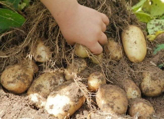 Картофель зекура: история селекции и характеристика сорта, выращивание и уход