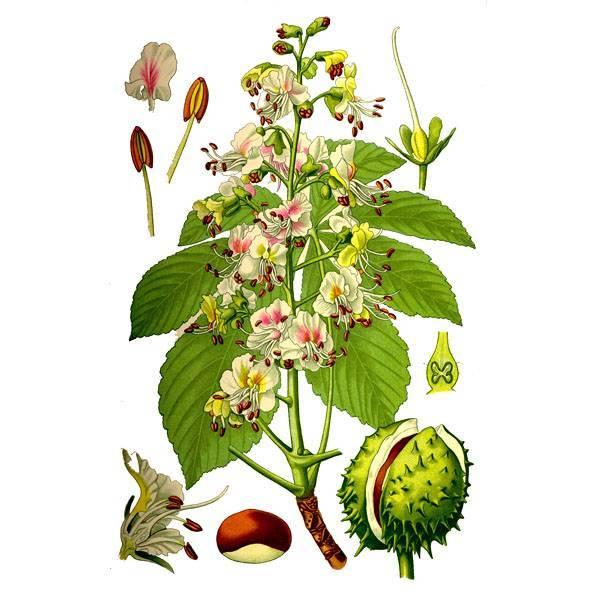Каштан (плод): лечебные свойства, применение в народной медицине