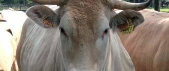 Послеродовой парез у коров – причины, симптомы, лечение и профилактика