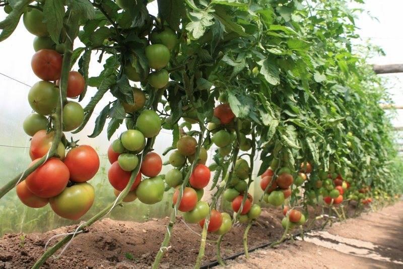 Нужно ли пасынковать помидоры черри - 120 фото как правильно обрабатывать томаты