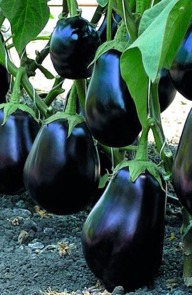 Баклажан мечта огородника — описание сорта, фото, отзывы, посадка и уход