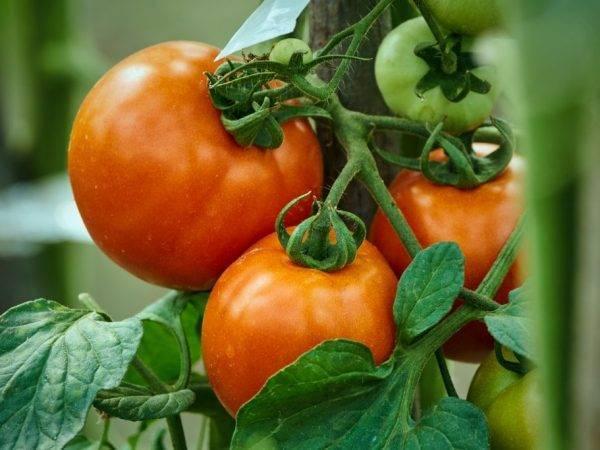 Правила выращивания томата алеша попович