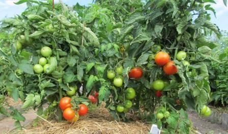 Низкорослые помидоры для открытого грунта без пасынкования - лучшие сорта: отзывы