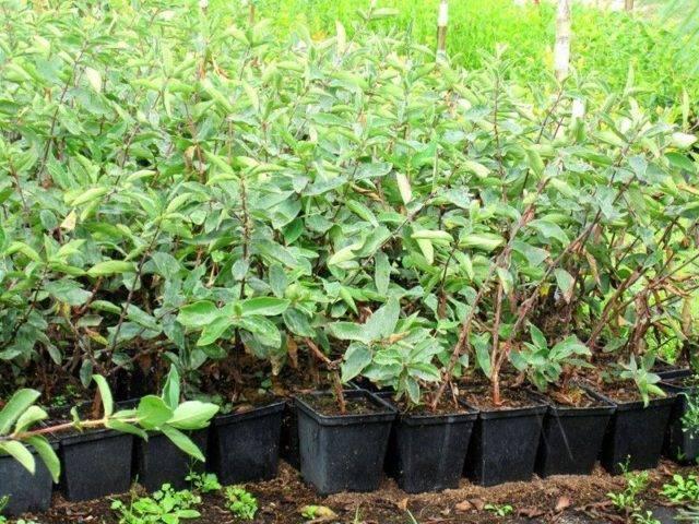 Как правильно высадить саженцы жимолости весной в грунт