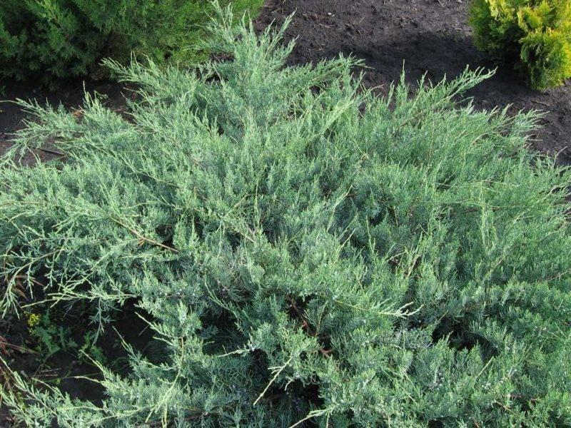 Сорта виргинского можжевельника: грей оул и хетц