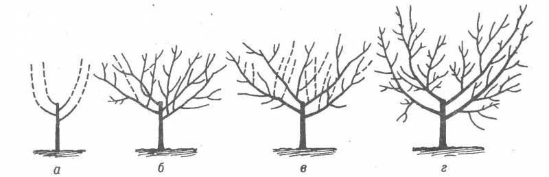 Как обрезать персик весной и летом